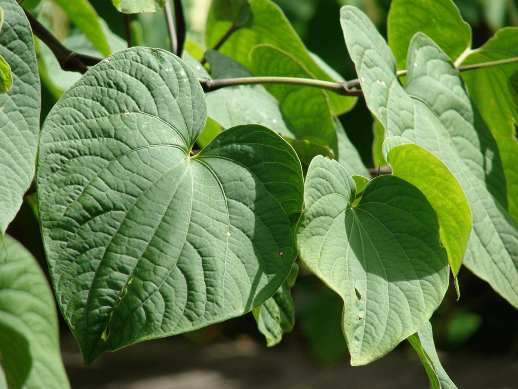 Plante Kava