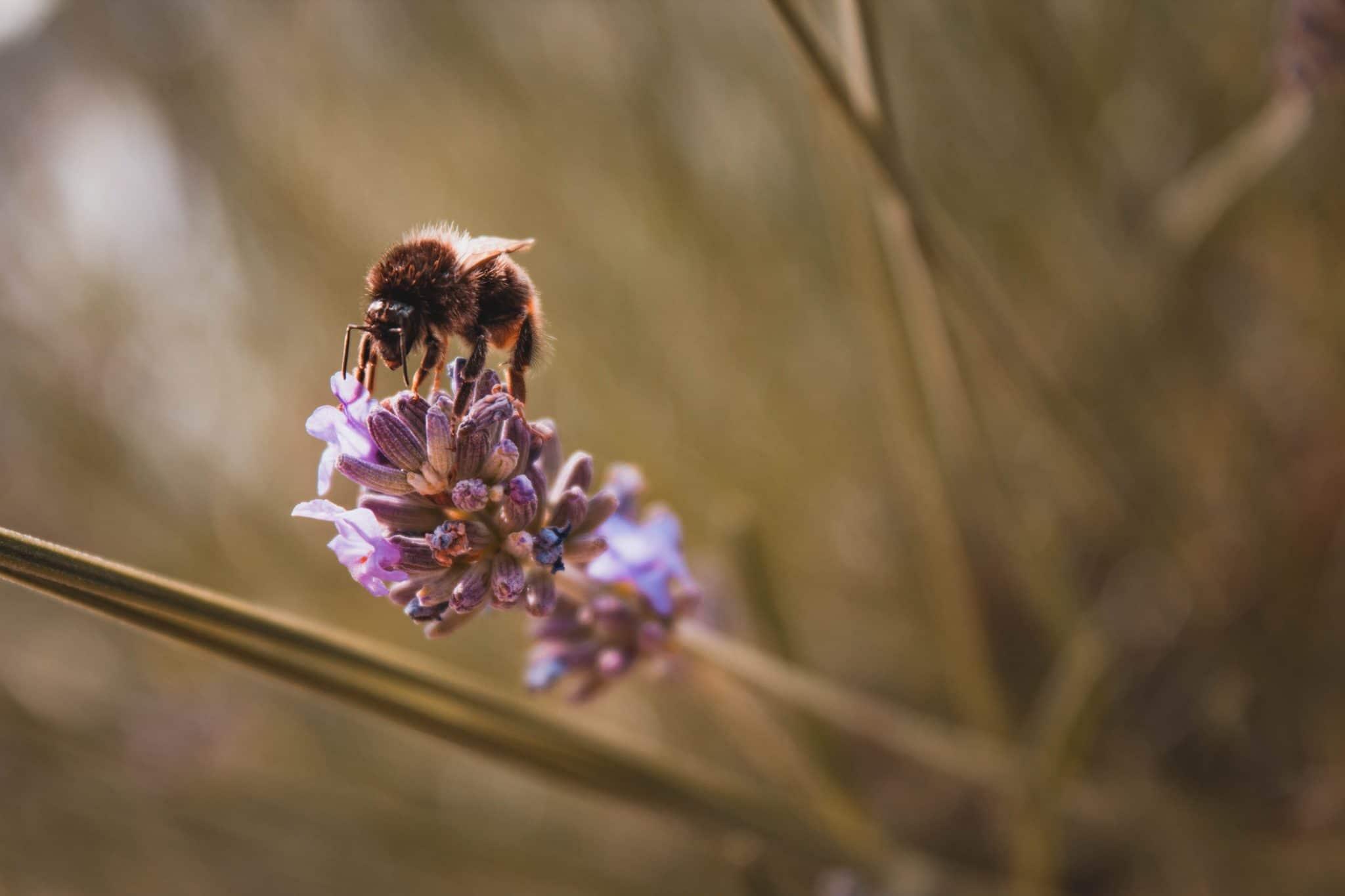 abeilles-lavande